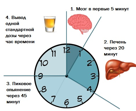 Через какое время выводится алкоголь из крови
